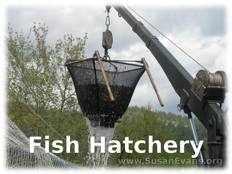 fish-hatchery
