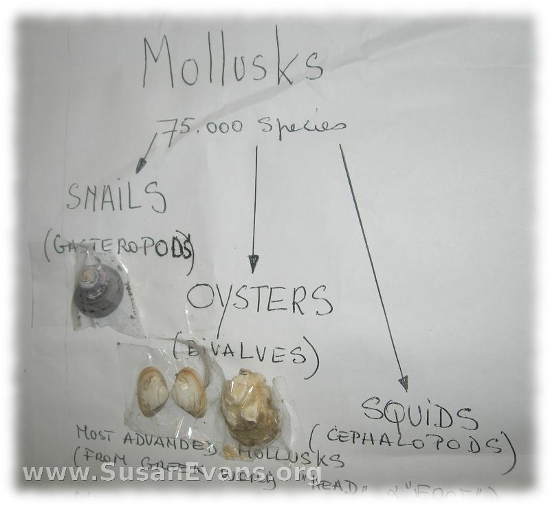 mollusk-chart