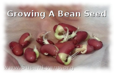 growing-a-bean-seed