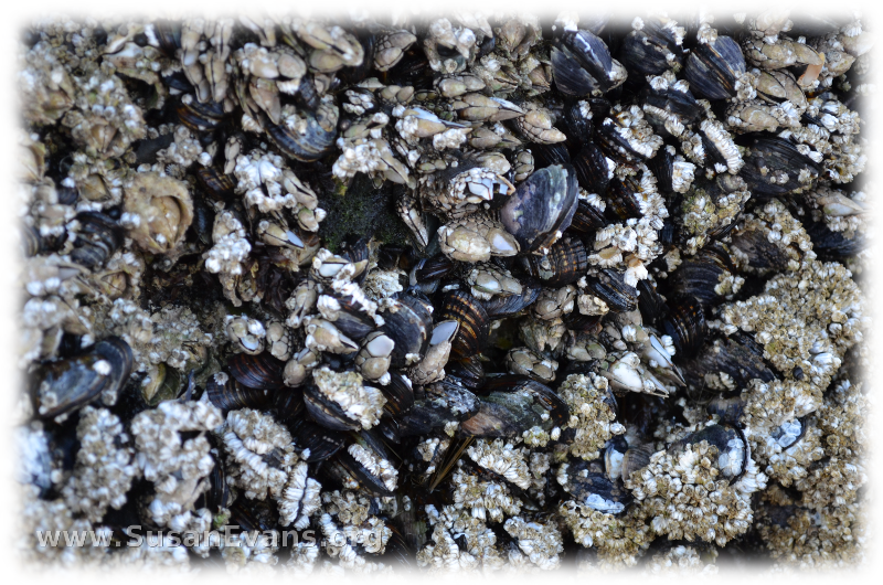 barnacles-at-cannon-beach