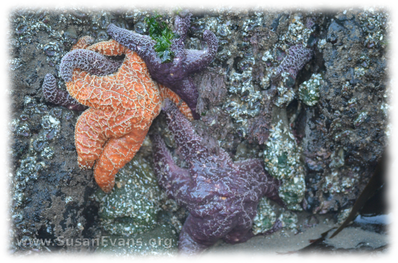 sea-stars-of-cannon-beach