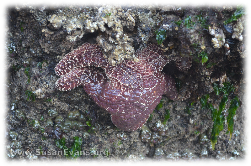starfish-at-cannon-beach