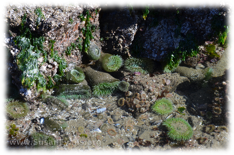 tide-pools-of-cannon-beach-2