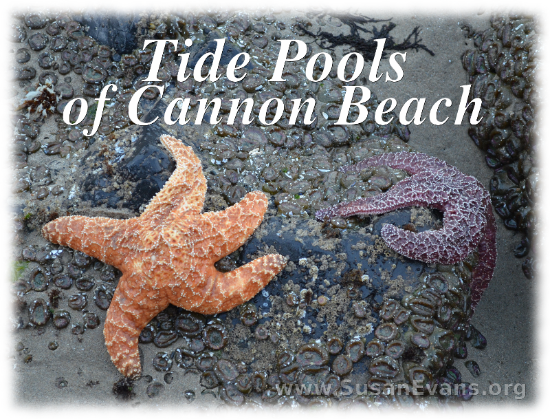 tide-pools-of-cannon-beach