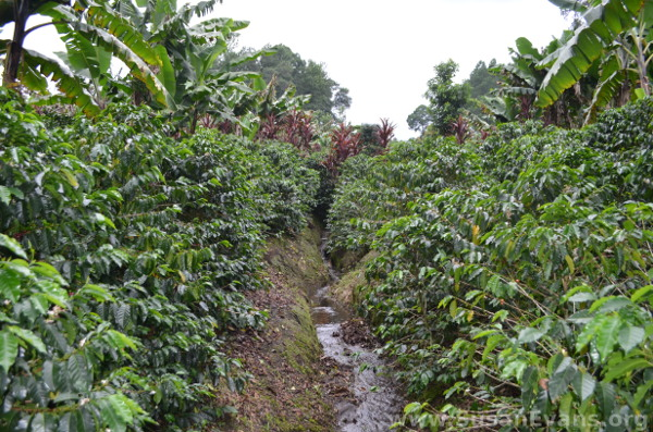coffee-plantation-guatemala