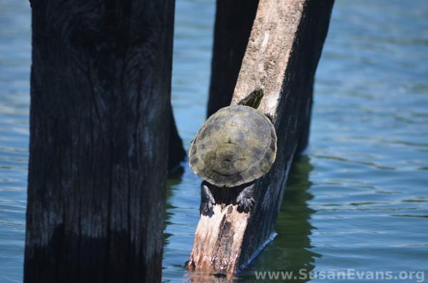 rio-dulce-turtle