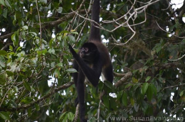 tikal-monkey