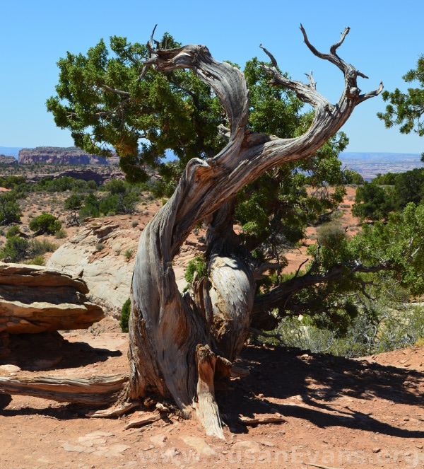 canyonlands-tree